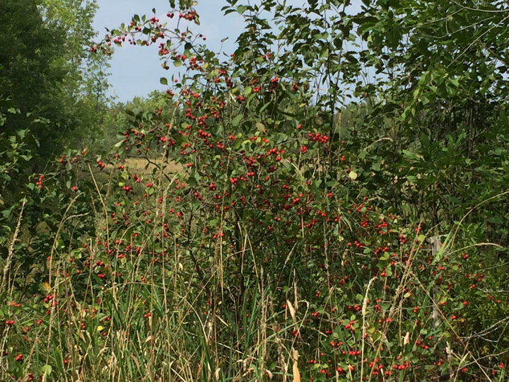 Hawberry Bush - Manitoulin Island